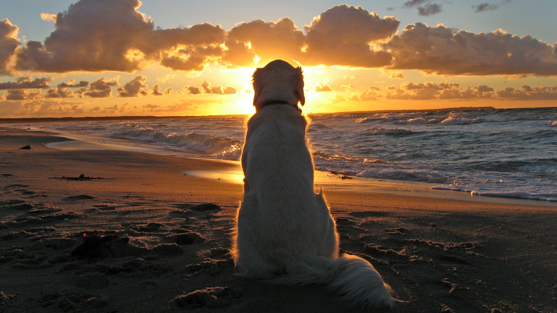 dog wallpapers sunset
