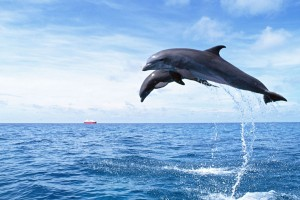 dolphin wallpaper flying