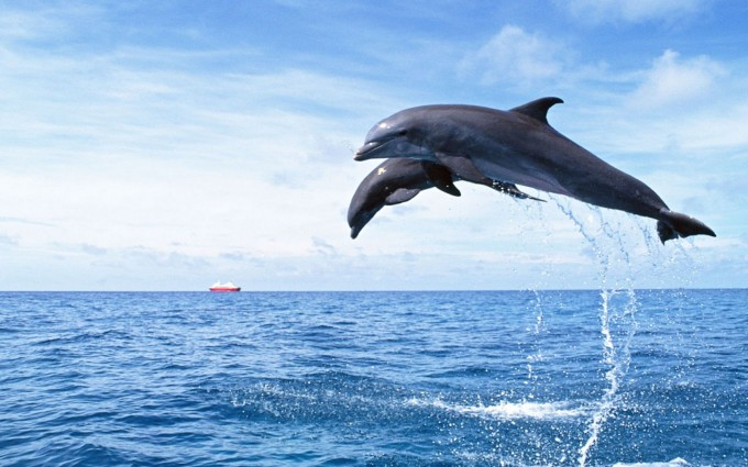 dolphin wallpaper flying