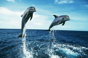 Dolphins Wide Desktop Background