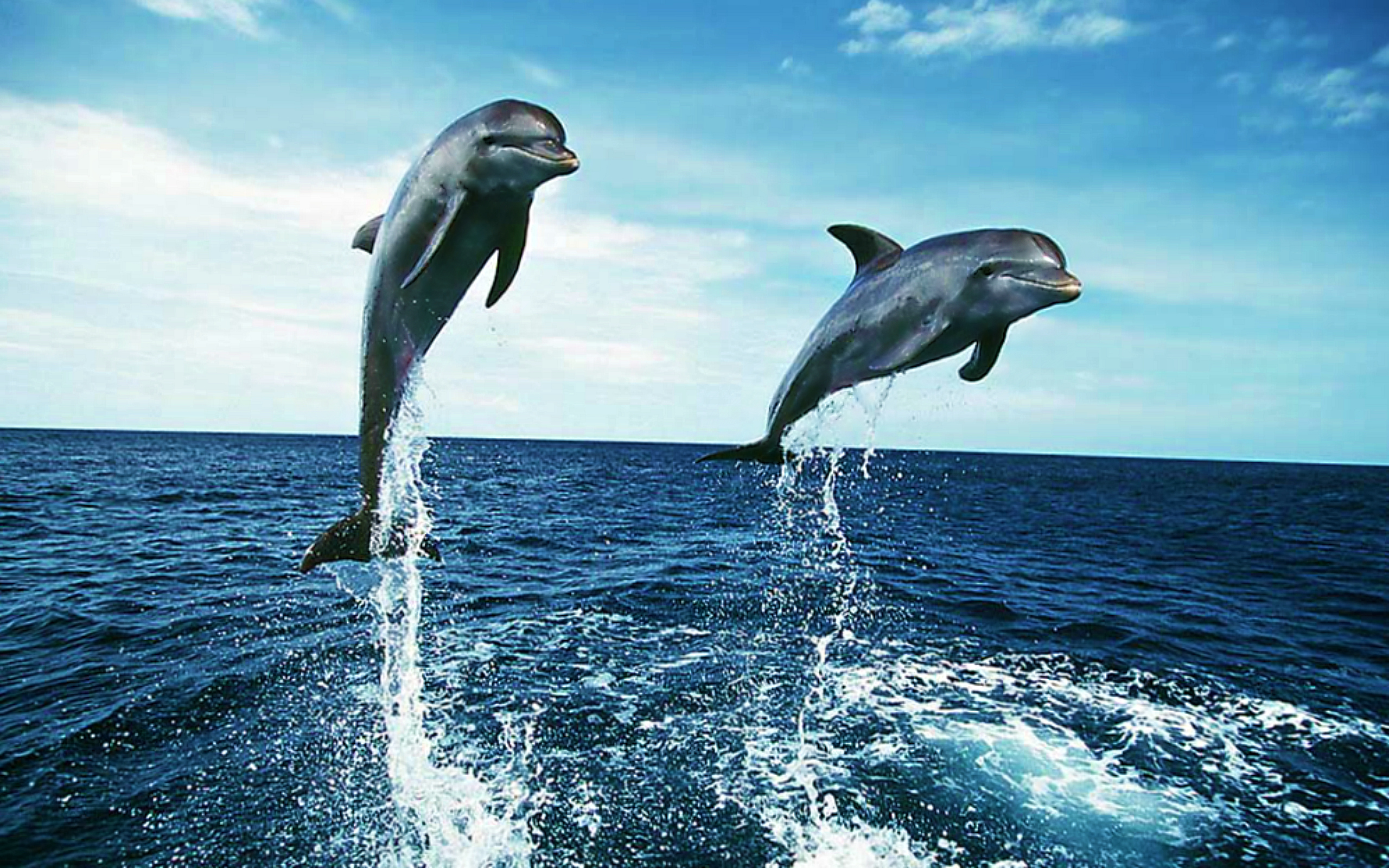 dolphins wide desktop background hd desktop wallpapers