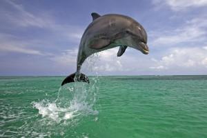 dolphin wallpaper laptop