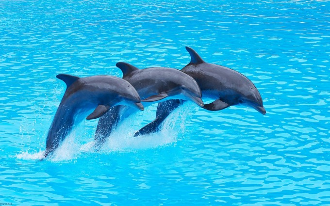 dolphin wallpaper photography