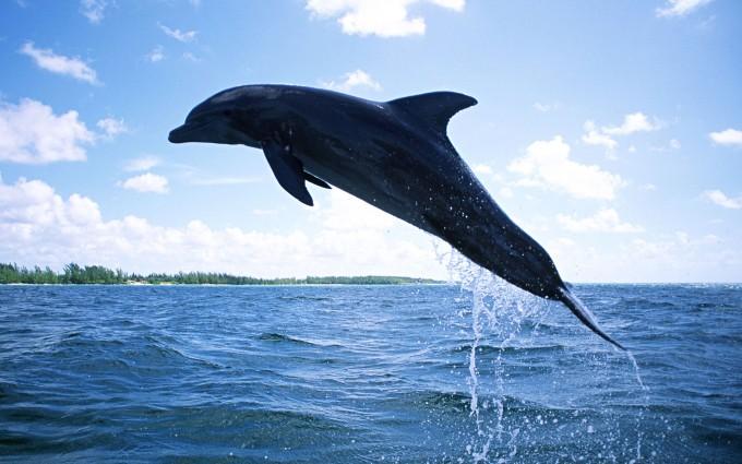 dolphin wallpaper sea