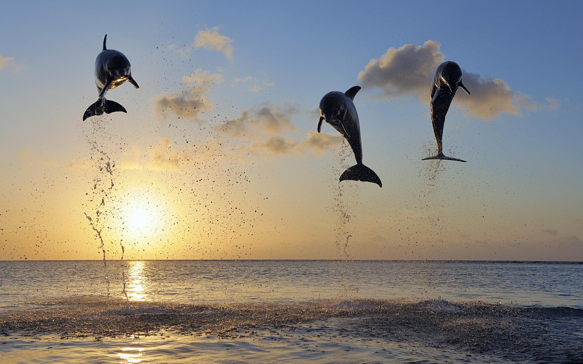 Common Bottlenose Dolphins jumping in sea at sunset, Roatán, Bay Islands, Honduras