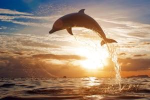 dolphin wallpaper sunset
