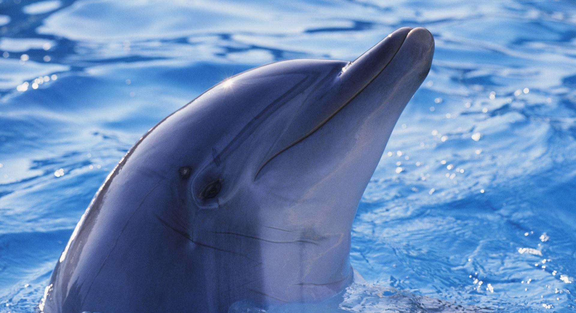 dolphin  hd