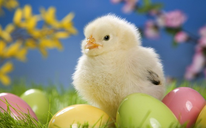 easter wallpapers eggs hd chick