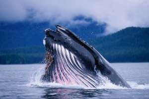 fish wallpaper blue whale