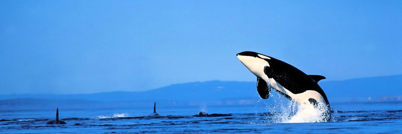 Fish Wallpaper Killer Whale Hd Desktop Wallpapers 4k Hd
