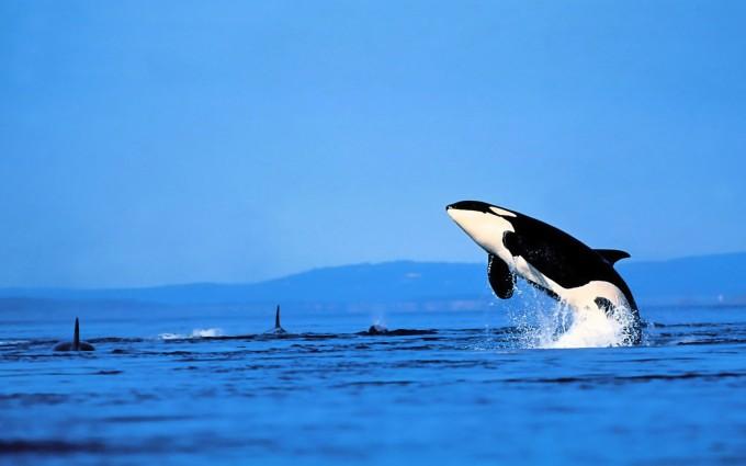 fish wallpaper killer whale