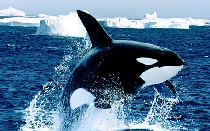 fish wallpaper orca