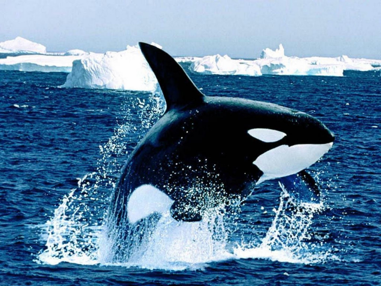 fish wallpaper orca