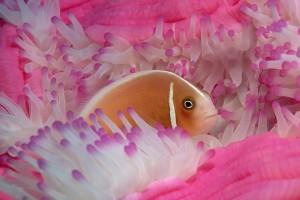 fish wallpaper pink