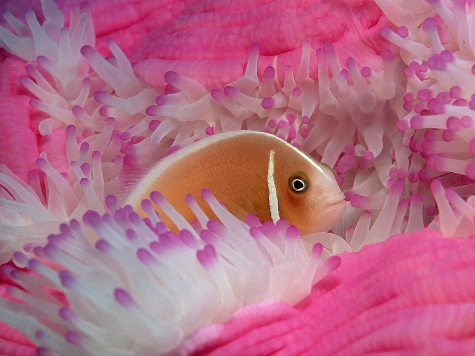 fish wallpaper pink