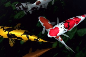 fish wallpaper red