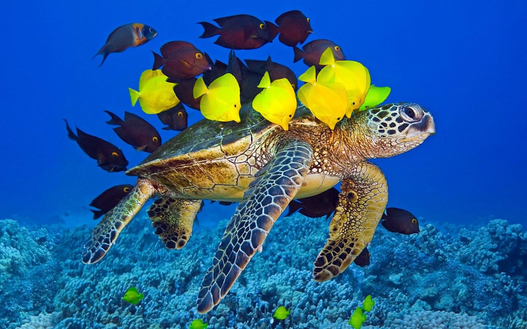 fish wallpaper turtle