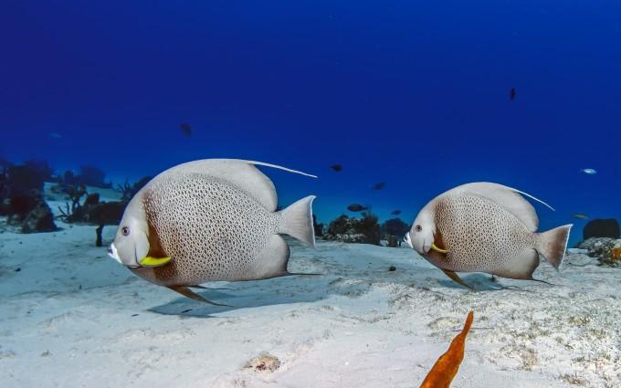 fish wallpaper white