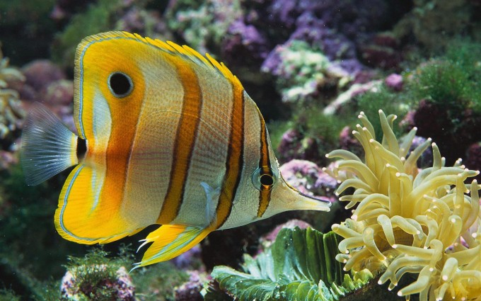 fish wallpaper yellow stripes