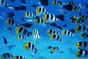 fish wallpaper zebra stripes