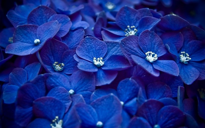 flower wallpapers blue