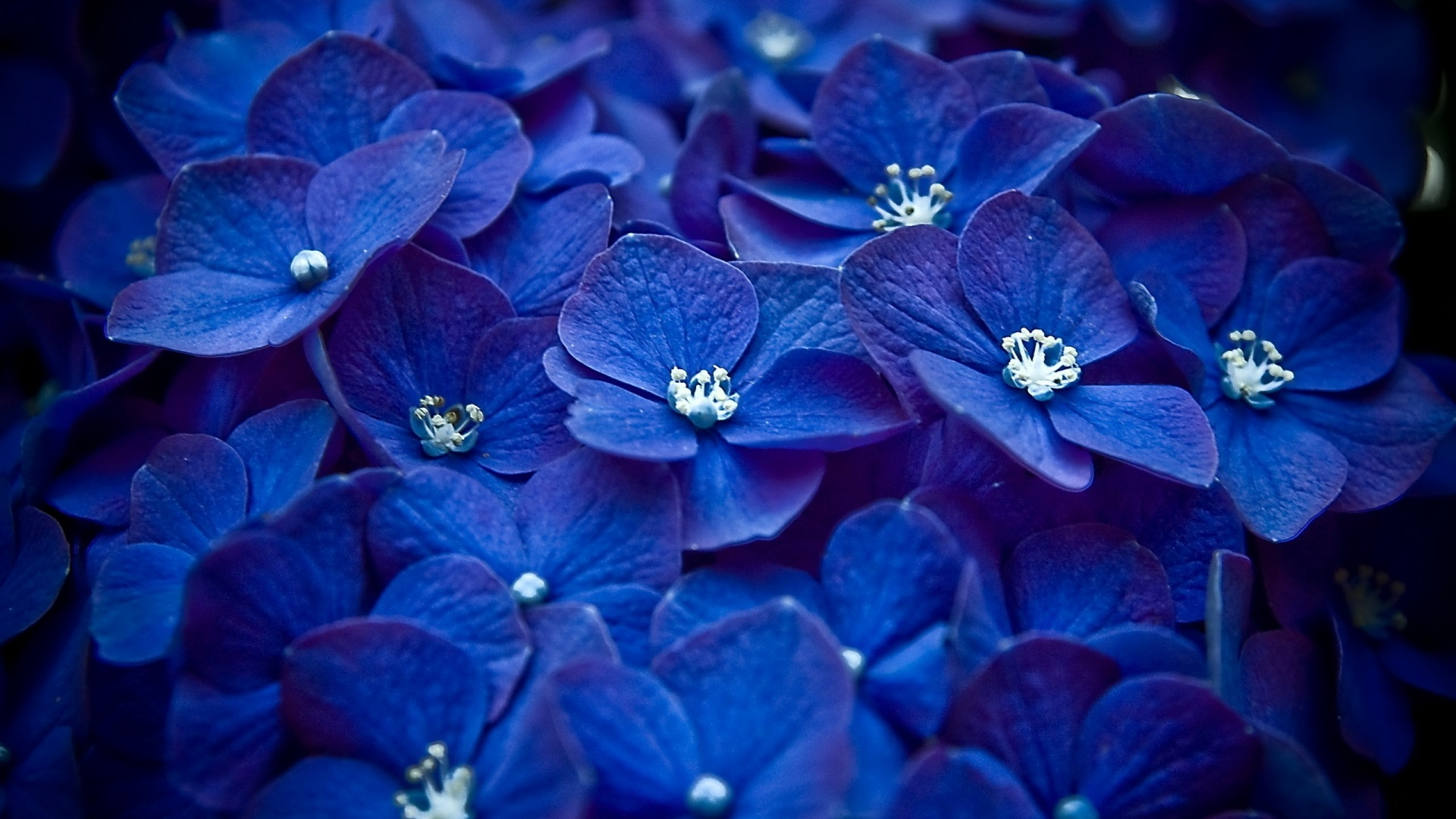 flower wallpapers blue