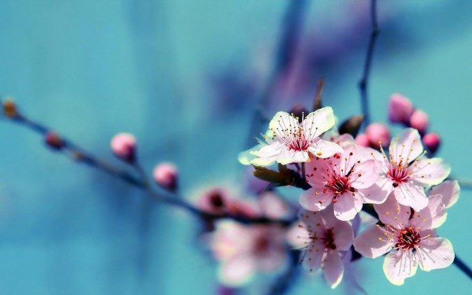 flower wallpapers cherry
