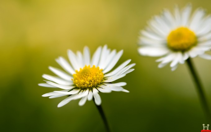 flower wallpapers daisy