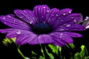 flower wallpapers dewdrops purple