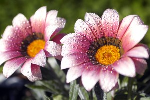 flower wallpapers pink white