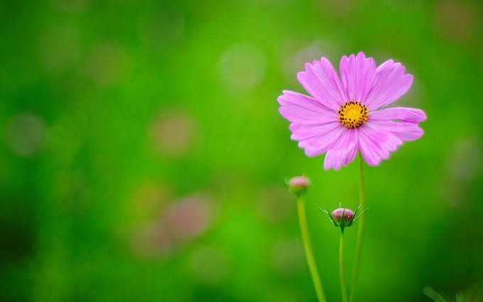 flower wallpapers purple hd