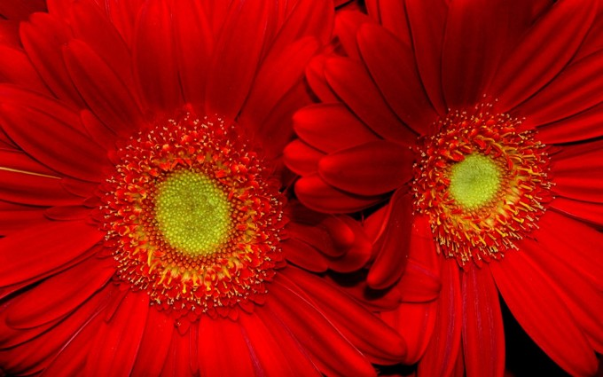 flower wallpapers red