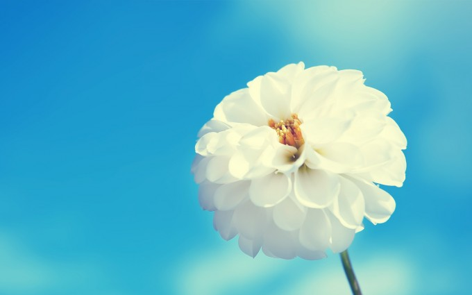 flower wallpapers white beautiful