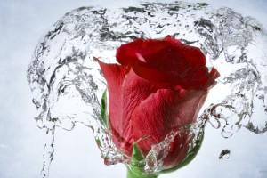hd wallpaper water rose