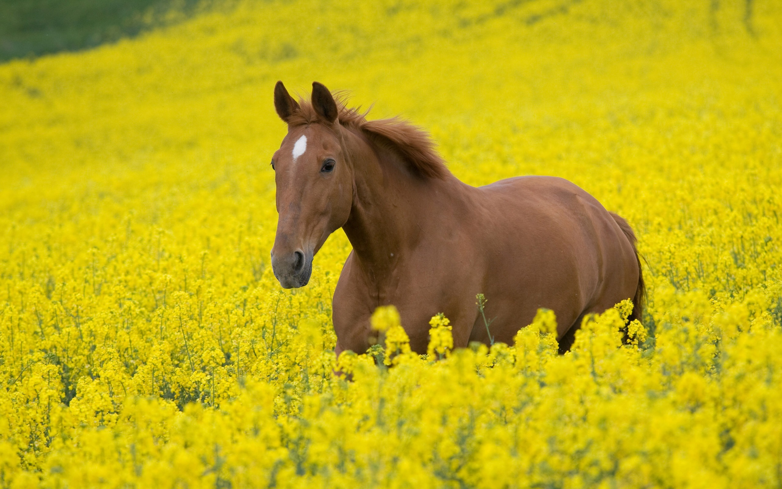 horse wallpapers nature