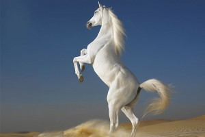 horse wallpapers white