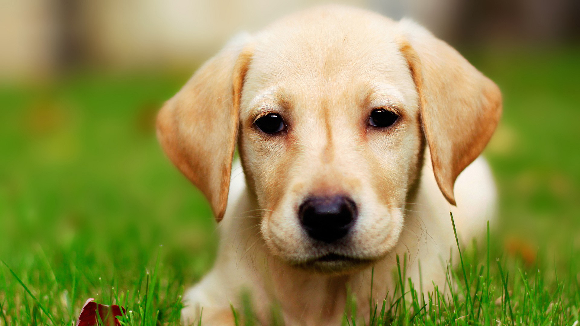 labrador dog wallpaper