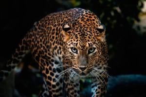leopard wallpaper amazing