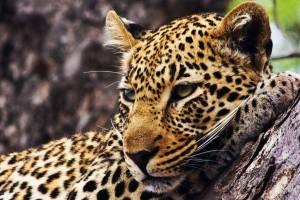 leopard wallpaper astounding