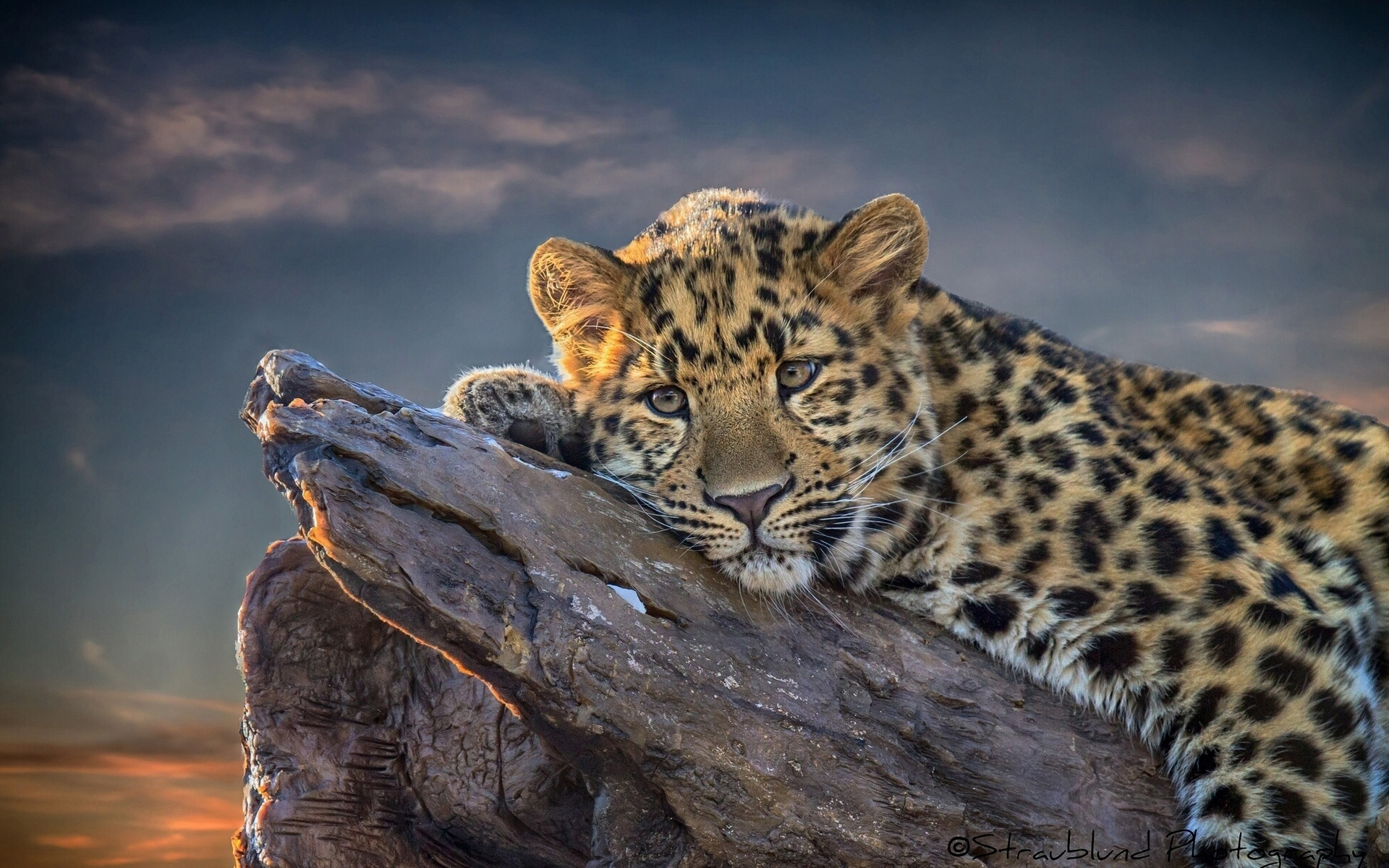 Leopard Wallpaper Beautiful - HD Desktop Wallpapers