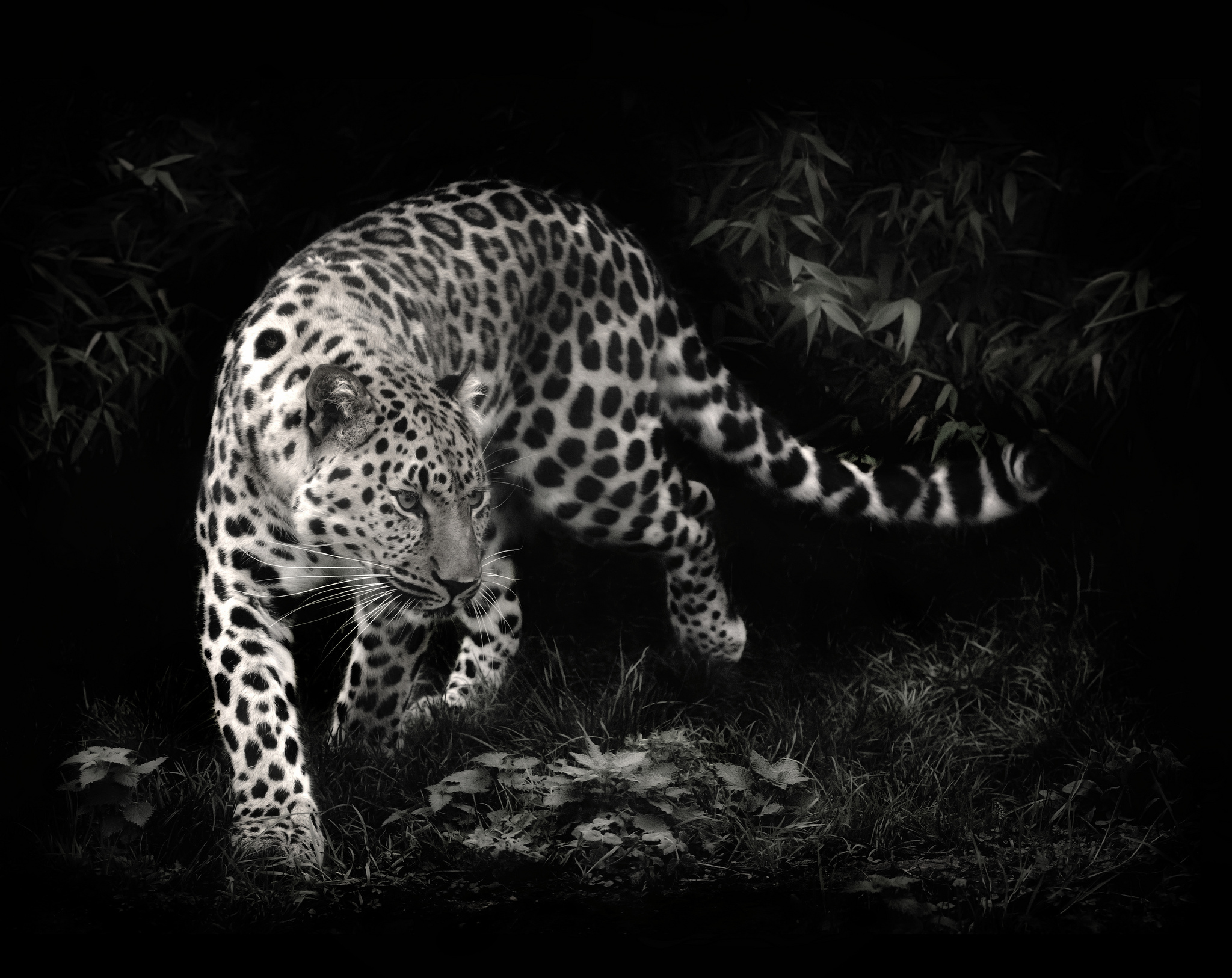 leopard wallpaper black and white