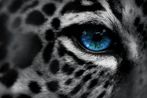 leopard wallpaper blue eyes