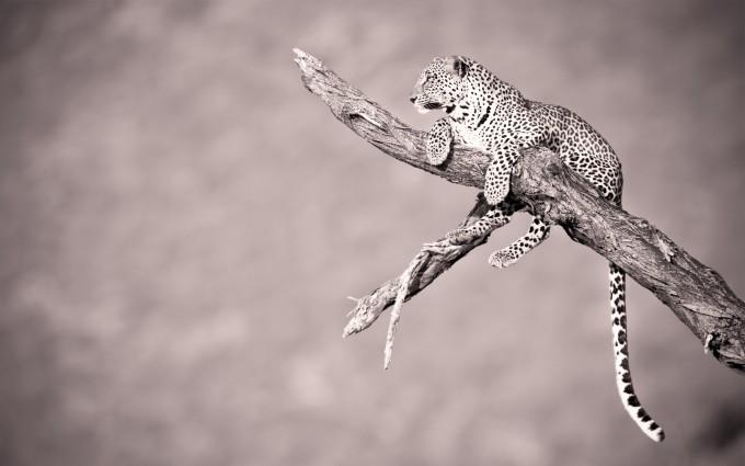 leopard wallpaper chilling