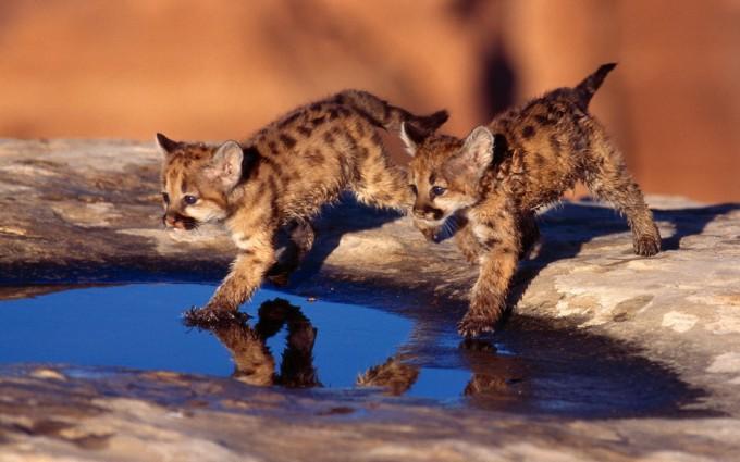 leopard wallpaper cute cubs