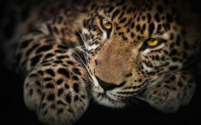 leopard wallpaper dark