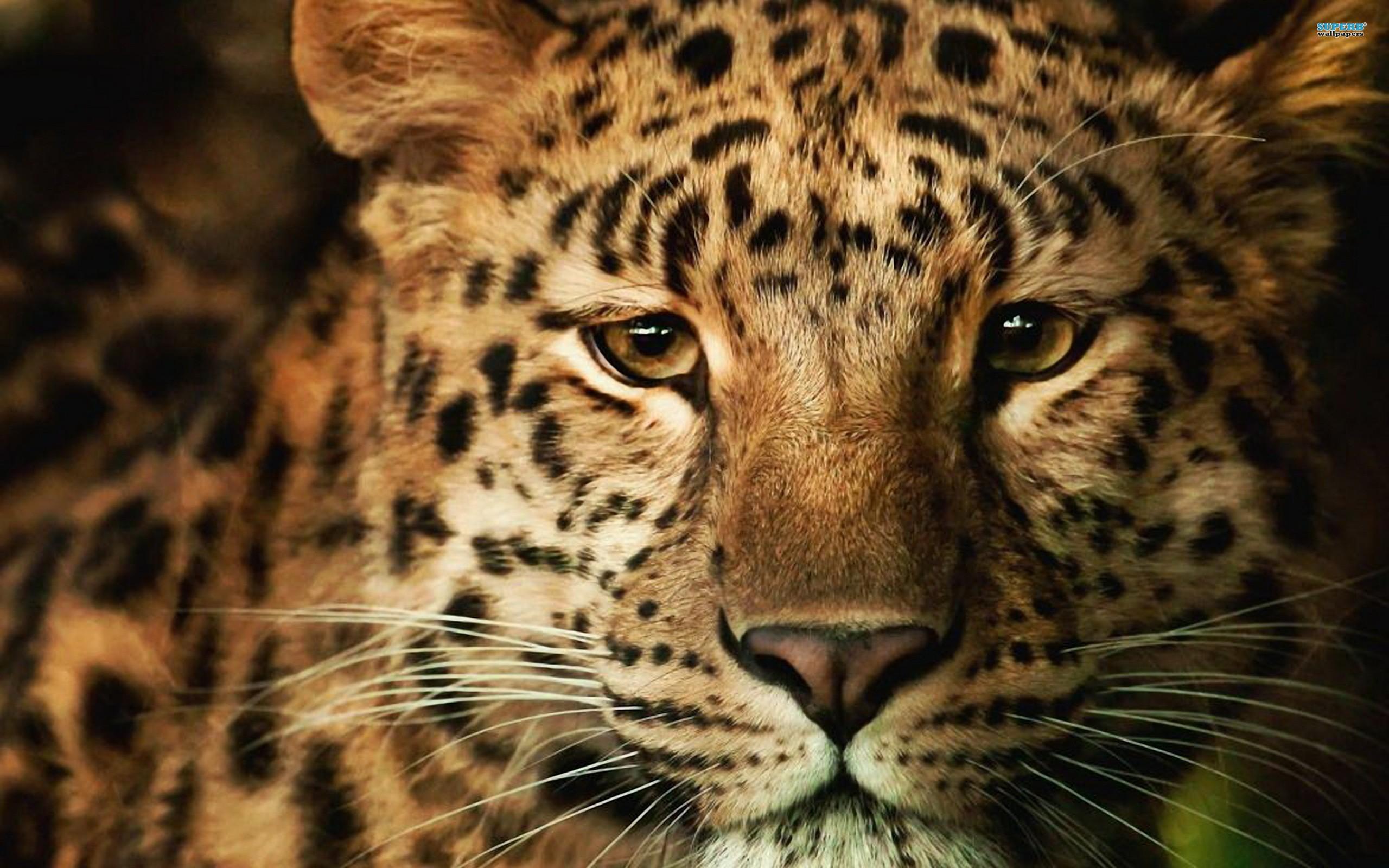 leopard wallpaper forest