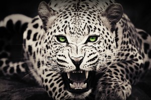 leopard wallpaper furious