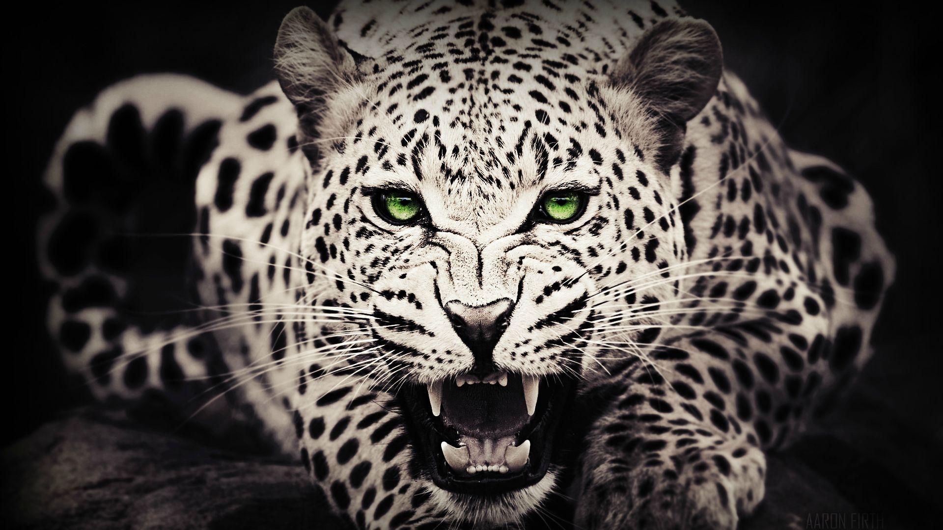 leopard wallpaper furious