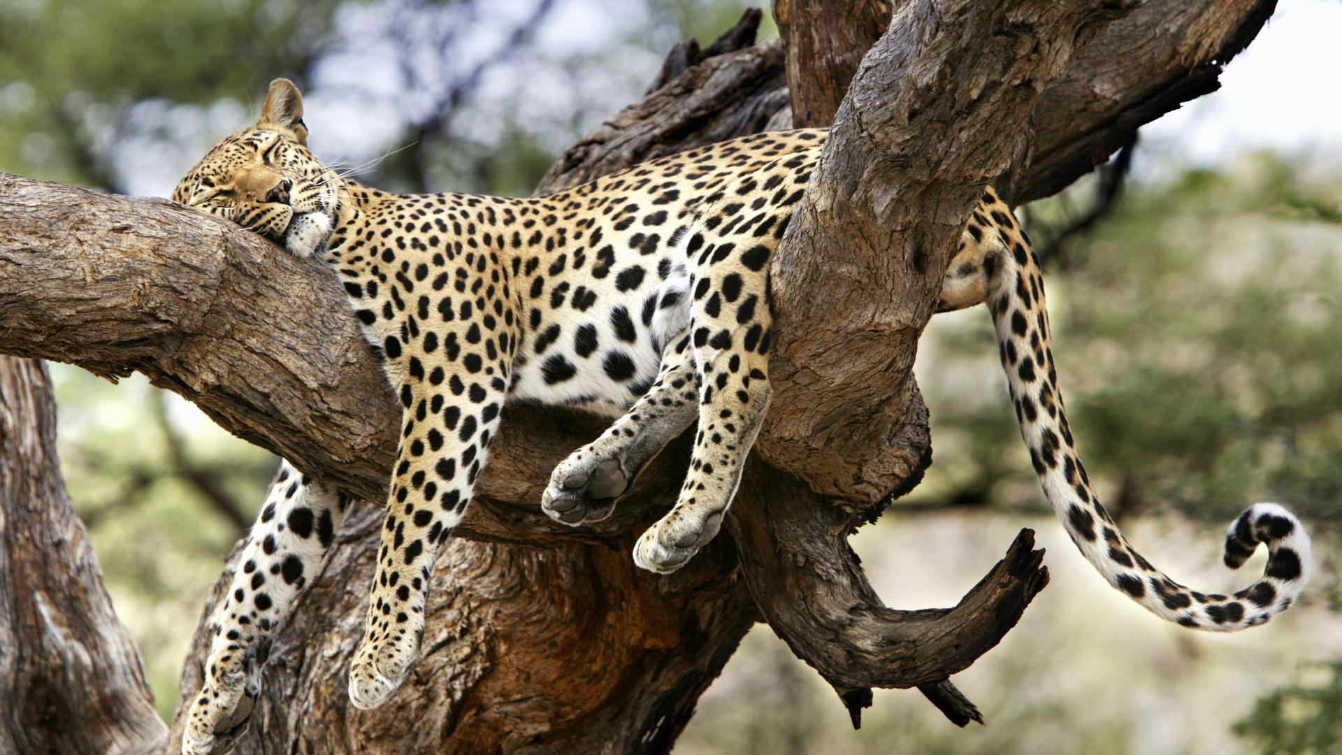leopard wallpaper hd