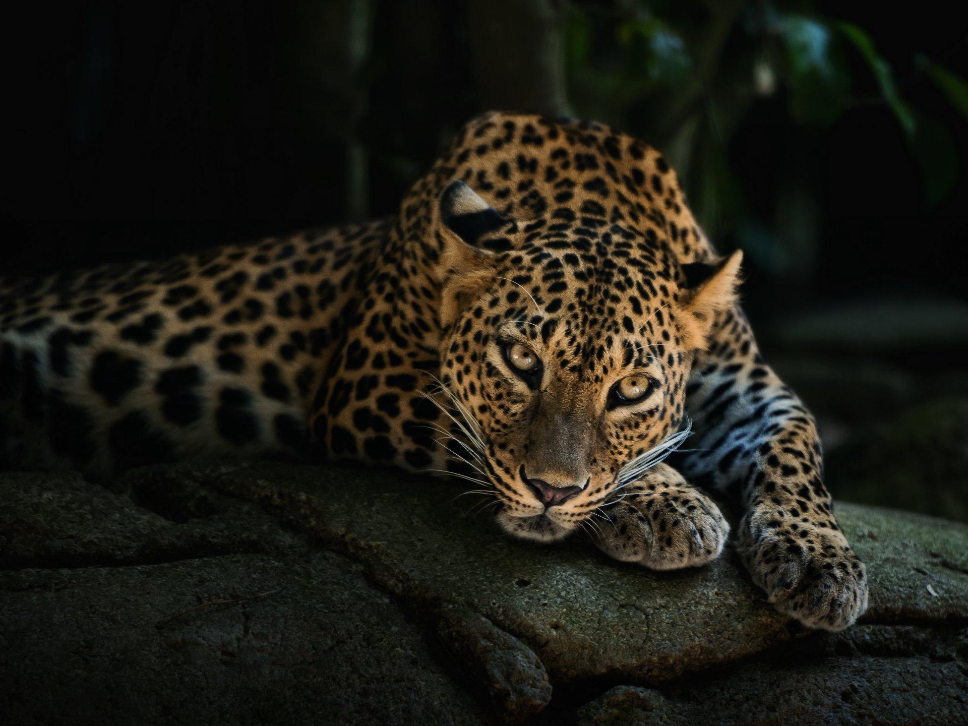 leopard wallpaper jungle